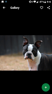 Boston Terrier Wallpapers HD - náhled