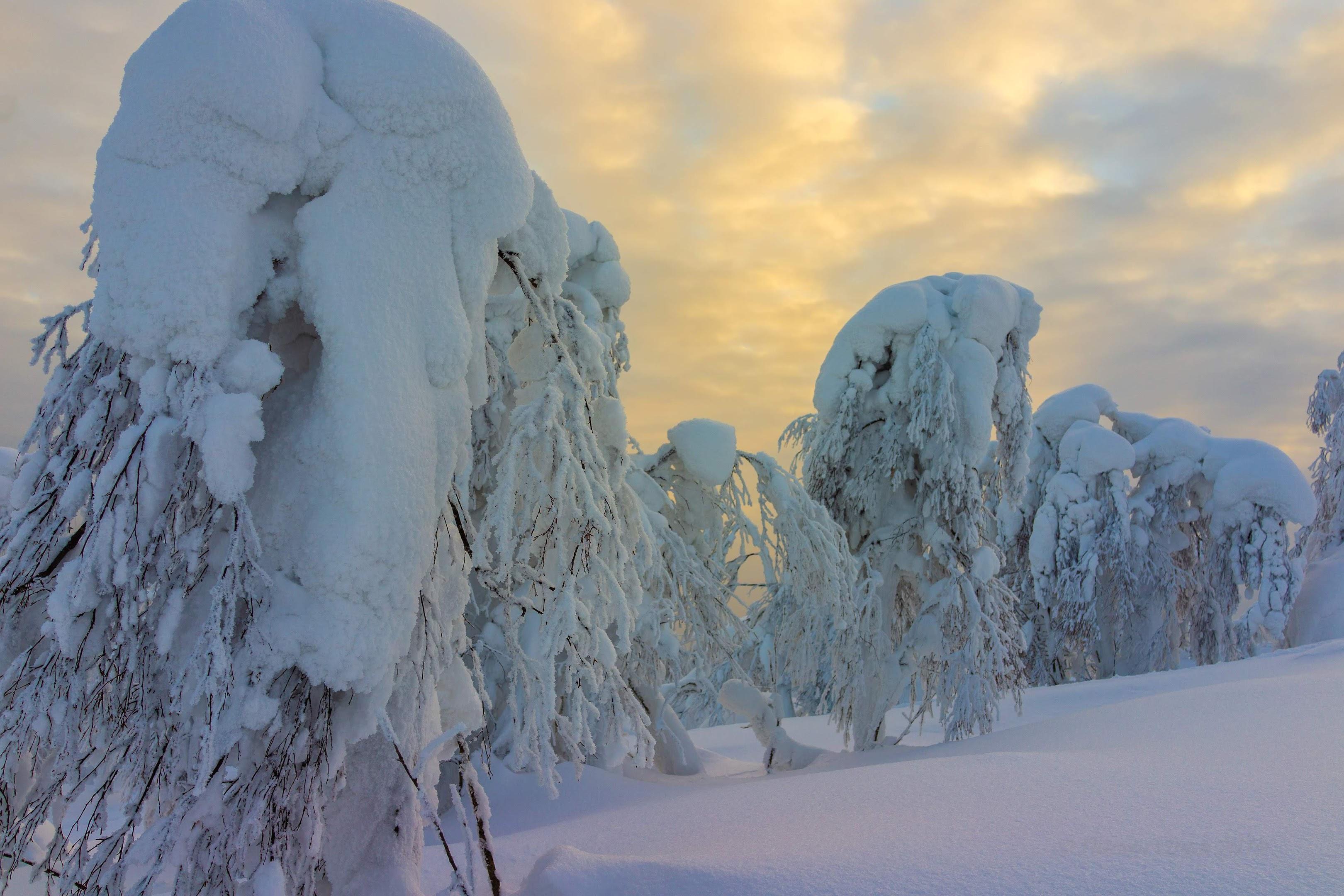 Снег на елях. Вот поэтому деревья на вершинах гор и не вырастают.