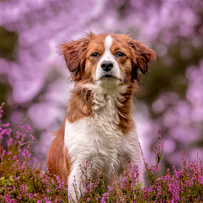 Purple Days by Colin Harley - Animals - Dogs Portraits ( plant, pose, purple, d750, pup, nikkor, 200-500, puppy, nikon, dog, kooikerhondje, kooiker, heather, flower, animal )