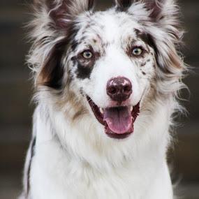 Happy Pup by Jordan Fuchsberger - Animals - Dogs Portraits ( border collie, fluffy, puppy, australian shepherd, dog )