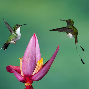 Hummingbird by Gorazd Golob - Animals Birds ( banana flower, ecuador, fight, hummingbird, flower )