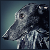 Greyhound Wallpaper