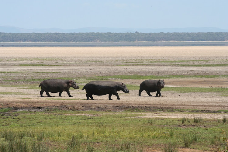 Hippos on the Eastern Shores of Lake St Lucia, one of the many battlegrounds where Porter fought behind the scenes. Picture: SUPPLIED