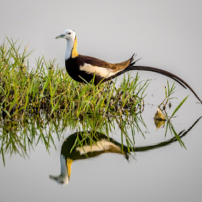 Pheasant tailed Jacana by Sanjeev Goyal - Animals Birds ( get, set, run, and, go,  )