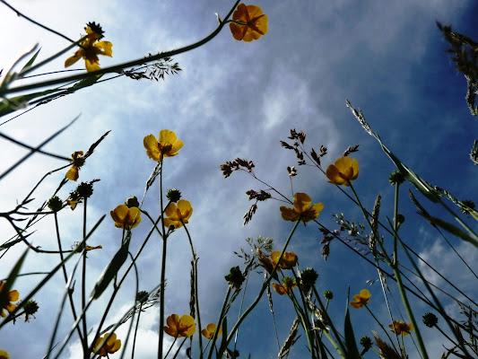Ranunculus acris di Laucol