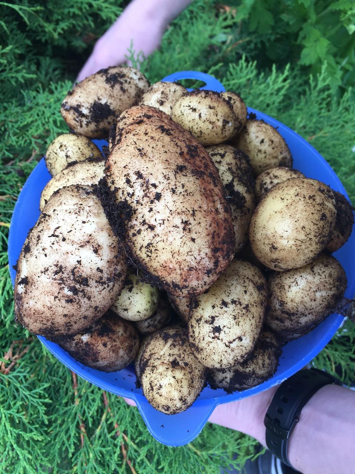 plantando batata