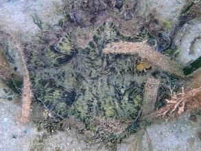 Photo: Hippopus hippopus (Bear Paw Clam), Chindonan Island, Palawan. Philippines.