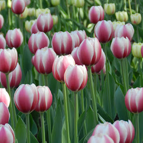 by Kerry  Milligan - Nature Up Close Gardens & Produce ( pwcflowergarden, tulips, garden,  )