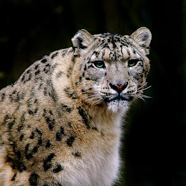 Snow leopard by Gérard CHATENET - Animals Lions, Tigers & Big Cats