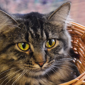 Basket Tabby by Michael Cowan - Animals - Cats Portraits ( cat, shelter, adopt )