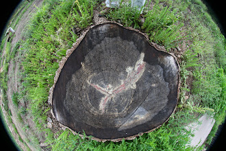 Photo: Stump of a big old tree killed in the big fire years ago.