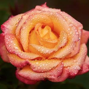 0 Rose 9698~.jpg
