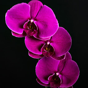 Orchid 2 by Tim Davies - Flowers Flower Arangements ( timothy a davies, purple, t a davies photography, petals, art photography, lush, t a davies photographer, photography, tadavies, tim davies, red, portrait photography, orchid, elegant, three, southern california photgrapher, photographer, landscape photography, trio, so cal, flower,  )