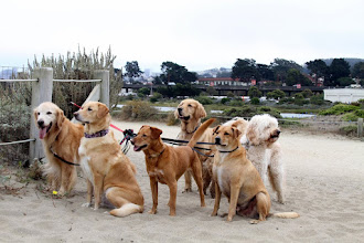 Photo: Jerry, Joyce and I take a stroll along the beach and saw numerous dog walkers some with 7 or more dogs! We loved the sight of these golden colored dogs looking out across the water.