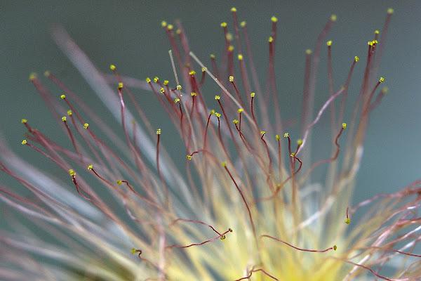 Fiore d'Acacia di Scaletta