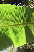 Photo: Palmių lapai.  Palm trees.