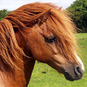 shetland pony wallpaper icon