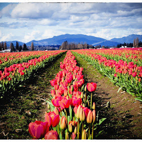 Rows of Red by Judy Wright Lott - Flowers Flower Gardens ( nature, bulbs, tulips, landscapes, flowers )