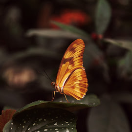 Gorgeous Butterfly by Monroe Phillips - Animals Insects & Spiders (  )