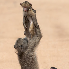 Motherly love by Hilton Kotze - Animals Other Mammals ( mammals, {papio ursinus}, animals, environment, pwcbabyanimals, baboon, nature, conservation, chacma, wildlife, africa, safari animals )