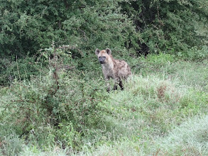 Photo: Spotted Hyaena