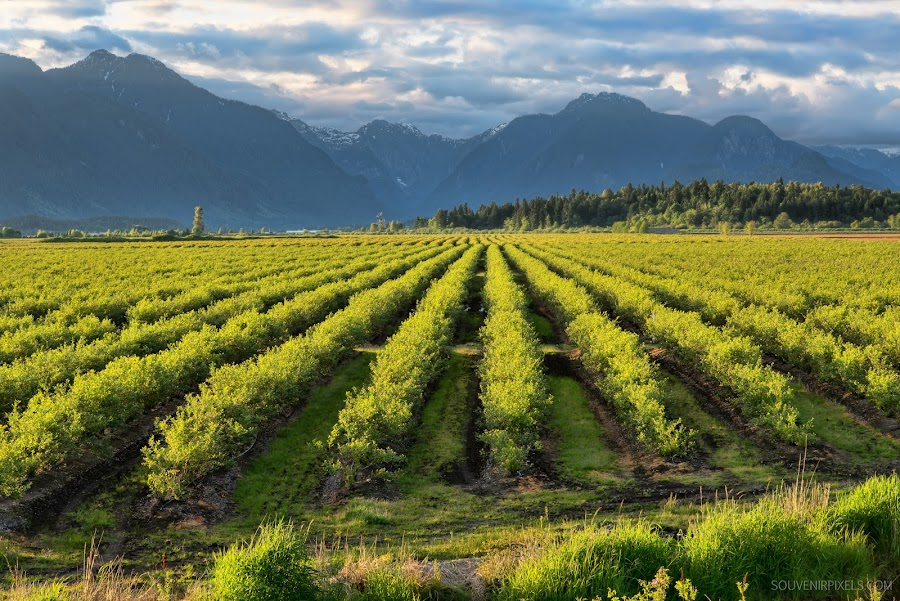 Blueberry Fields by James Wheeler - Landscapes Prairies, Meadows & Fields ( countryside, mountain, blueberry, lawn, farmland, blue berry, architecture, travel, leaf, plantation, crop, city, sky, nature, cultivation, british columbia, hill, canada, grass, agriculture, forest, rural, country, season, cultivated, outside, plant, maple ridge, ground, land, plants, valley, landscape, spring, farm, outskirts, alps, clouds, green, scenic, farming, field, blue, fog, grow, outdoor, background, meadow, summer, growth )