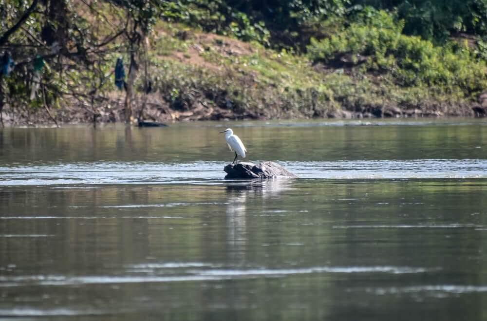 Cattle egret sitting on an island in the Kali river, Dandeli