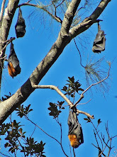 Photo: Flying-Foxes