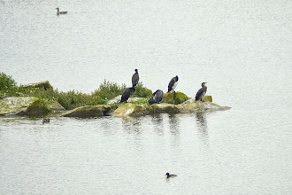 Photo: Cormorants