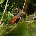 Centropus sinensis 褐翅鴉鵑