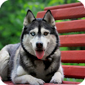 Siberian Husky Live Wallpaper icon