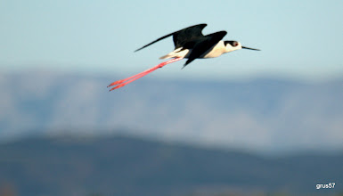 Photo: Ходулочник, Black-winged Stilt. (Himantopus himantopus), Миссолонги