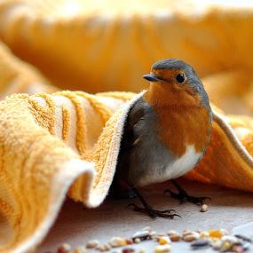 Grateful Robin by Stuart Wilson - Animals Birds