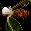 Crab Spider and prey