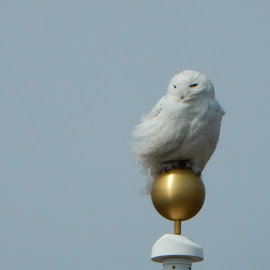 Snowy Owl Balancing on Flagpole by Kristine Nicholas - Novices Only Wildlife ( finial, blue sky, flag, owl, bird of prey, winter, birding, birds, windy, gold, ball, balancing, birds of prey, blue, white, balance, bird photography, bird, owls, perch, snowy, wind,  )