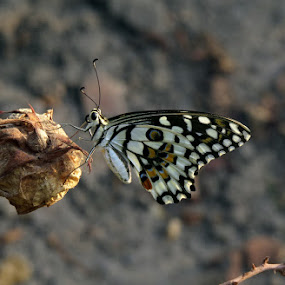 Common Lime by Sanjib Laha - Animals Insects & Spiders
