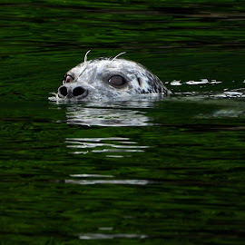 You talkin' to me?  by Campbell McCubbin - Animals Sea Creatures ( nose, reflection, seal, water, eyes )