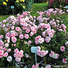 Photo: Beetrose Home & Garden®, Züchter: W. Kordes' Söhne 2001