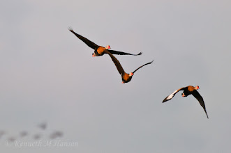 Photo: Black-bellied whistling ducks