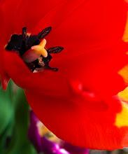 Photo: Allure  For my friends at #tulipsaturday +Measie Elizabeth+Marilyn Benham+Eustace James #piecesofmylife  #tulips  #flowerphotography