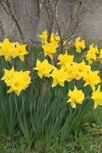 Photo: Skorá jar je obdobie narcicov (Prellenkirchen)