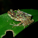Sabah Earless Toad
