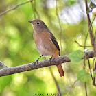 Daurian Redstart (खञ्जरी चरा)