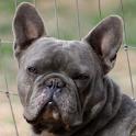 french bulldog wallpaper icon