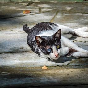 BluYel by Wohvener Amada - Animals - Cats Portraits ( animals, cat, pet,  )