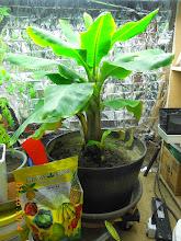 Photo: With Grow More Banana Fuel