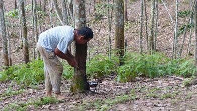Photo: Bukit Lawang i junglen, her en gummiplantage