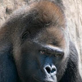 Gorilla by Jeri Curley - Animals Other Mammals ( large mammal, gorilla, primate )