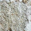 Glyphis Lichen