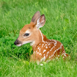 Fawn in a field by Debbie Quick - Animals Other Mammals ( deer, debbie quick, nature, white-tailed deer, nature up close, nature lovers, natures best shots, debs creative images, new york, national geographic, wildlife photographer, animal photography, animal, dutchess county, fawn, wild, hudson valley, nature photography, poughkeepsie, wildlife,  )